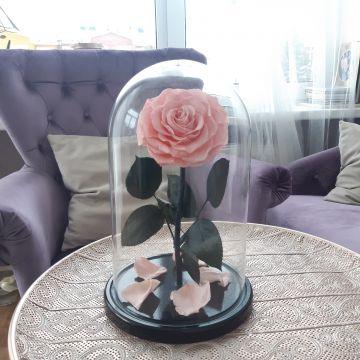 Роза XL Pink